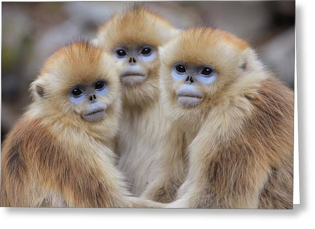 Animal Behaviour Greeting Cards - Golden Snub-nosed Monkey Rhinopithecus Greeting Card by Cyril Ruoso