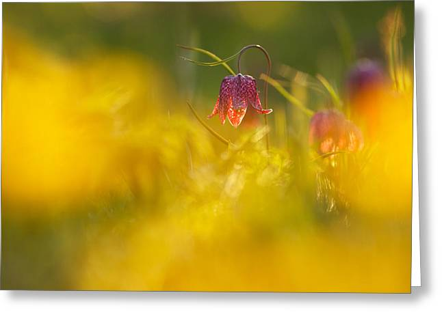 Dew Covered Flower Greeting Cards - Golden Sundown Greeting Card by Roeselien Raimond