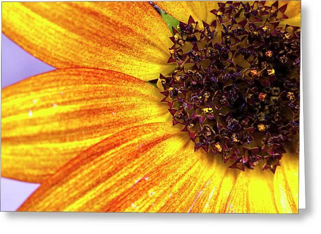 Golden Sunflower Petals Greeting Card by Sean Davey