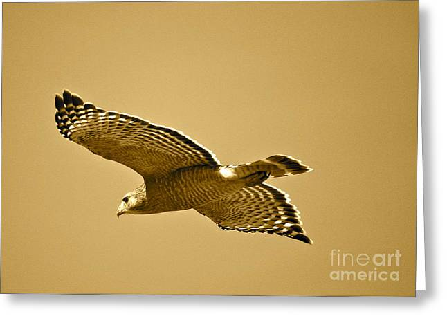 Red Shouldered Hawk Greeting Cards - Golden Sunlight on Hawk Greeting Card by Carol Groenen