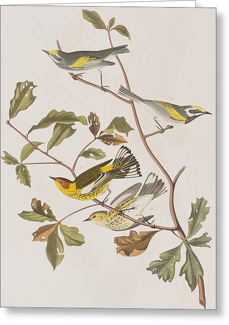 Warbler Greeting Cards - Golden winged Warbler or Cape May Warbler Greeting Card by John James Audubon