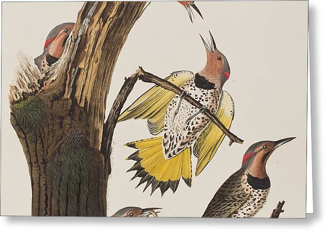 Woodpecker Greeting Cards - Golden-winged Woodpecker Greeting Card by John James Audubon