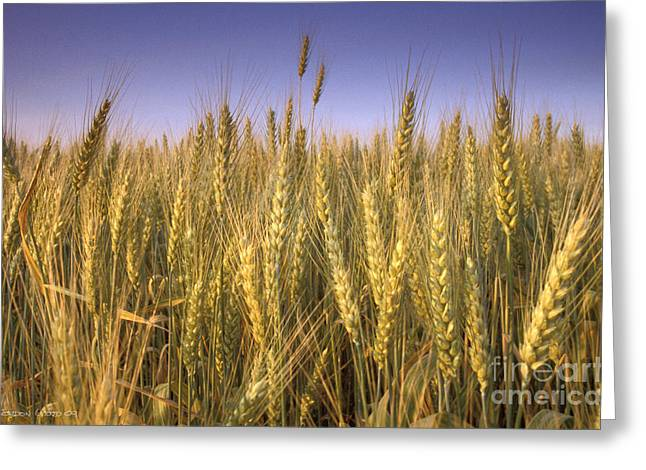 Golden Winter Wheat In Summer Greeting Card by Gordon Wood
