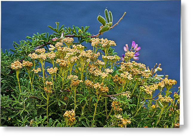 Point Lobos Reserve Greeting Cards - Goldenrod and Pink Pea Flower in Point Lobos State Reserve near Monterey-California Greeting Card by Ruth Hager