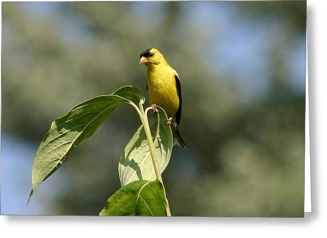 Reflections Of Infinity Greeting Cards - Goldfinch Atop Dogwood Greeting Card by Robert E Alter Reflections of Infinity