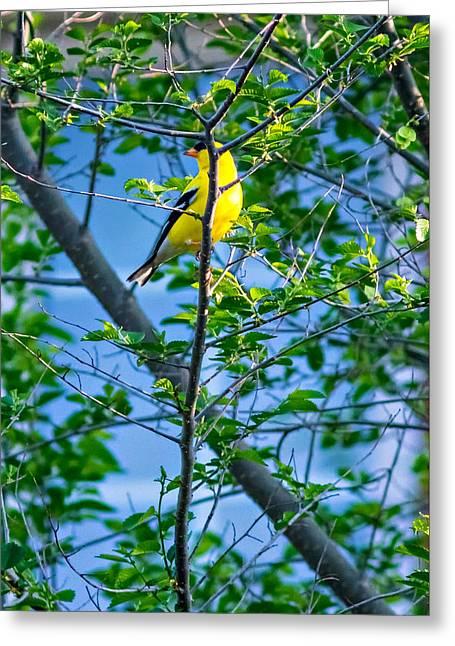 Songbird Prints Greeting Cards - Goldfinch Greeting Card by Steve Harrington