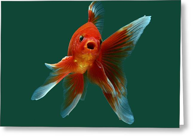 Aquarium Fish Greeting Cards - Goldfish Greeting Card by Jane Burton