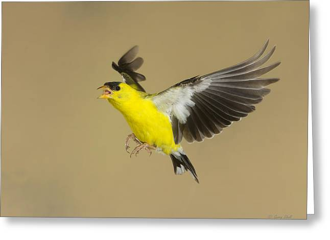 Canary In Flight Greeting Cards - Goldies Upset Greeting Card by Gerry Sibell