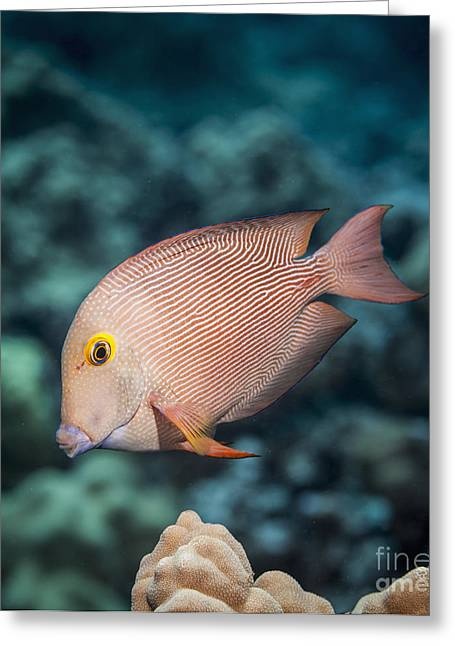 Undersea Photography Photographs Greeting Cards - Goldring Surgeonfish  Ctenochaetus Greeting Card by Thomas Kline