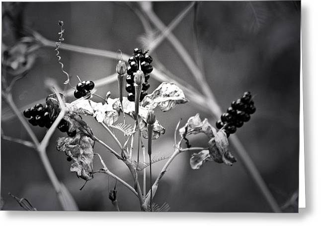 Best Sellers -  - Renewing Greeting Cards - Gone to Seed Berries and Vines Greeting Card by Teresa Mucha