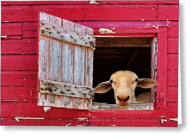 Barn Yard Greeting Cards - Good Morning Greeting Card by Nikolyn McDonald