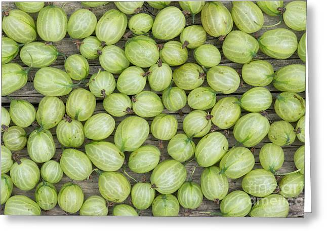Harvest Art Greeting Cards - Gooseberry Harvest Greeting Card by Tim Gainey