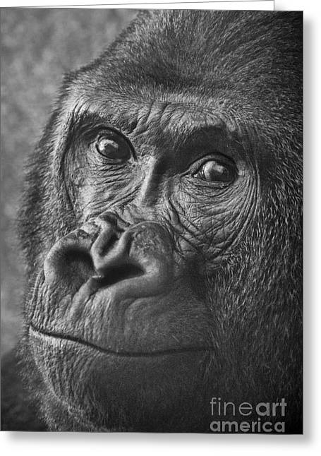 Dominant Greeting Cards - Gorilla Portrait Greeting Card by Jamie Pham