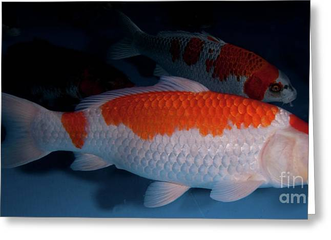 Pisciculture Greeting Cards - Gosanke Koi handpick pool Greeting Card by Hagai Nativ