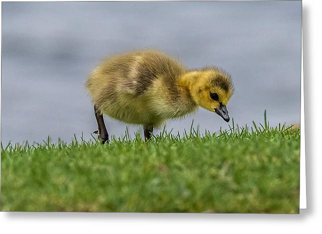 Water Fowl Greeting Cards - Gosling Hunting  Greeting Card by Paul Freidlund