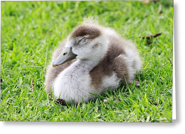 Nature Pyrography Greeting Cards - Gosling Napping  Greeting Card by Shoal Hollingsworth