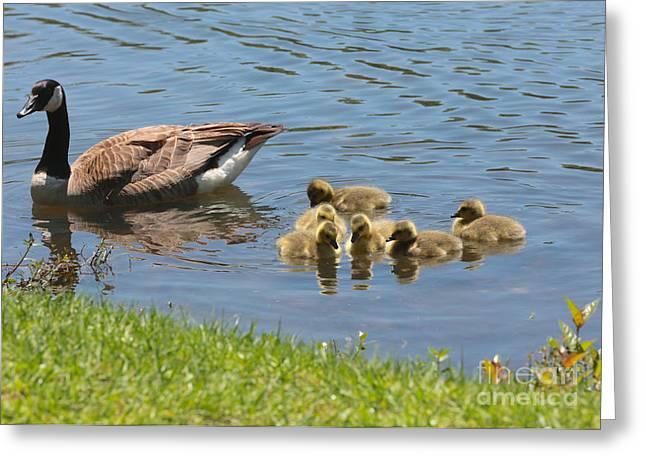 Baby Bird Greeting Cards - Goslings Gathering Greeting Card by Carol Groenen