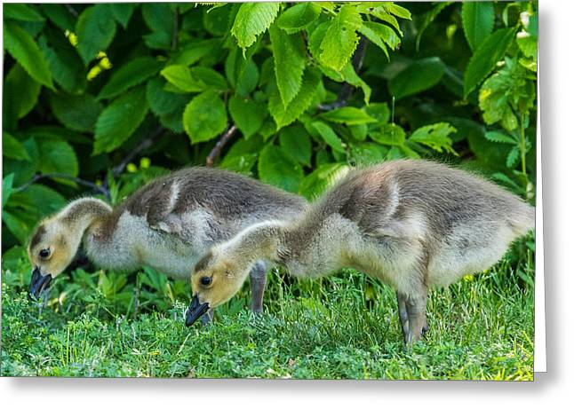 Gaggle Greeting Cards - Goslings Greeting Card by Paul Freidlund