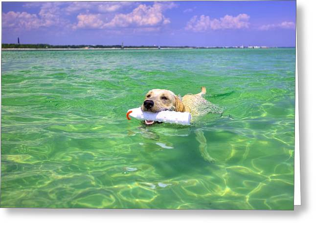Swimming Dog Greeting Cards - Got It Greeting Card by JC Findley