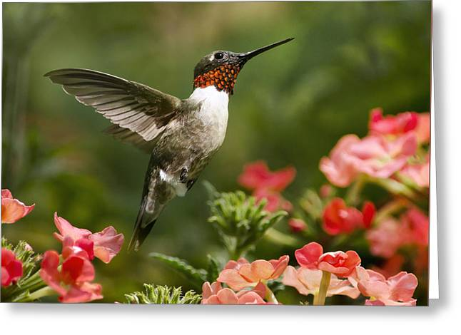 Hovering Greeting Cards - Graceful Garden Jewel Hummingbird Square Greeting Card by Christina Rollo