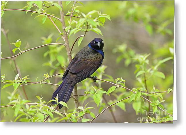 Exposure Greeting Cards - Grackle Stare Greeting Card by Timothy Flanigan