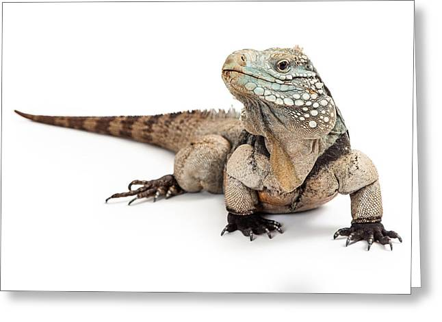 Iguanas Greeting Cards - Grand Cayman Blue Iguana Looking to Side Greeting Card by Susan  Schmitz
