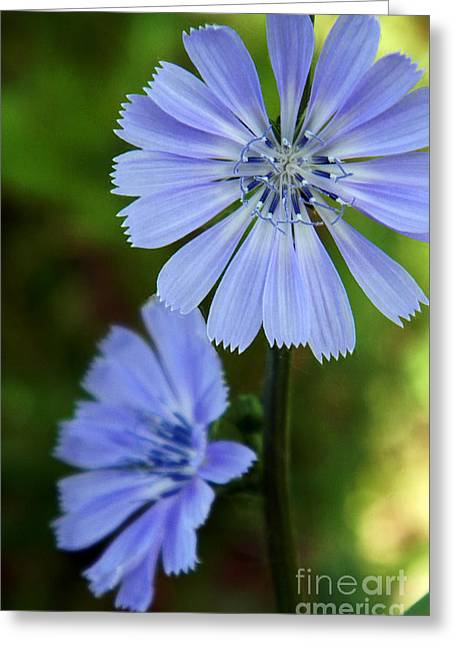 Souls Pyrography Greeting Cards - Grandmothers Chicory Greeting Card by Dale Jackson