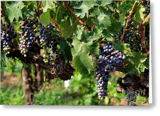 Cluster Of Grapes Greeting Cards - Grape Clusters in Vineyard Greeting Card by Carol Groenen