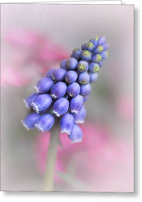 Blue Grapes Greeting Cards - Grape Hyacinth II Greeting Card by David and Carol Kelly