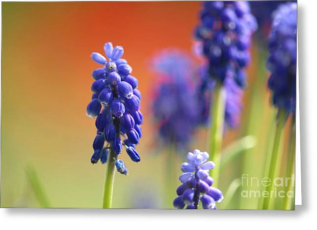 Blue Grapes Greeting Cards - Grape Hyacinth Greeting Card by Sharon  Talson