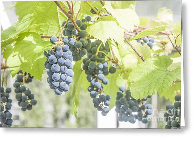 Grape Vineyard Greeting Cards - Grape plant Greeting Card by Daniel Ronneberg