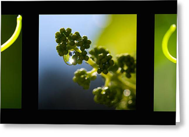Trio Greeting Cards - Grape Vines and Water Drops Triptych Greeting Card by Lisa Knechtel