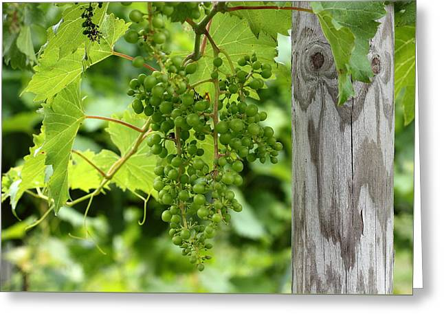 Grapes Greeting Cards - Ripe for the Picking Greeting Card by Brian Manfra