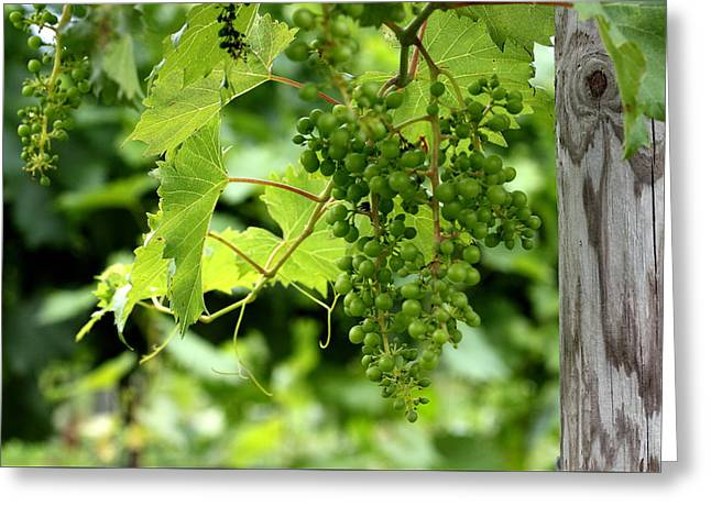 Vines Greeting Cards - Ready for Harvest Greeting Card by Brian Manfra