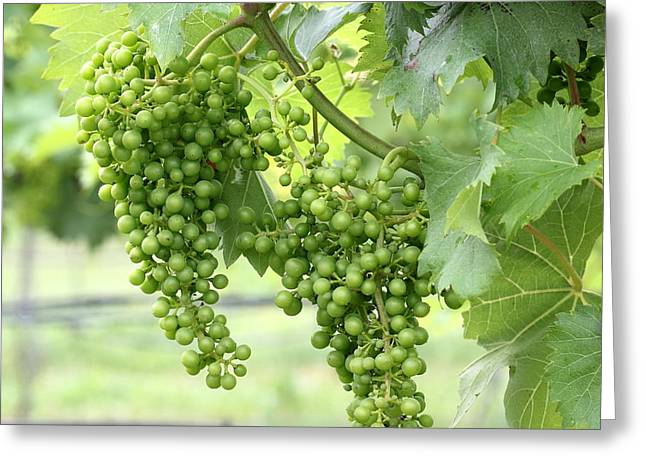 Vines Greeting Cards - Green Vineyard Grapes Greeting Card by Brian Manfra