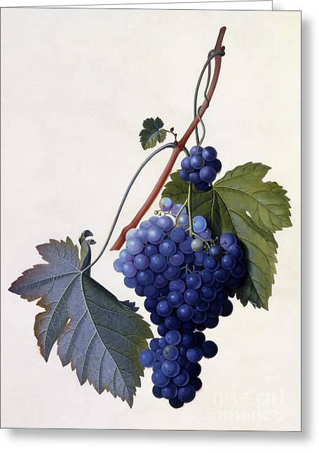 Grapes Greeting Card by Georg Dionysius Ehret