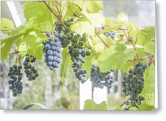 Grape Vineyard Greeting Cards - Grapes in a greenhouse Greeting Card by Daniel Ronneberg
