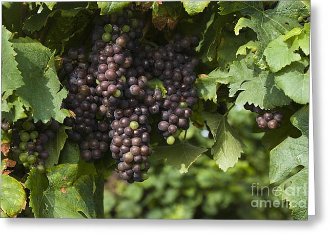 Grapevine Photographs Greeting Cards - Grapes Greeting Card by Juan  Silva