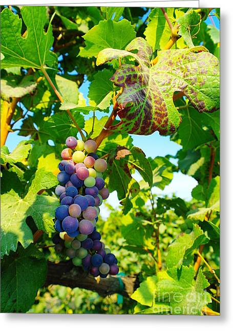 Blue Grapes Greeting Cards - Grapes On The Vine  Greeting Card by Jeff  Swan