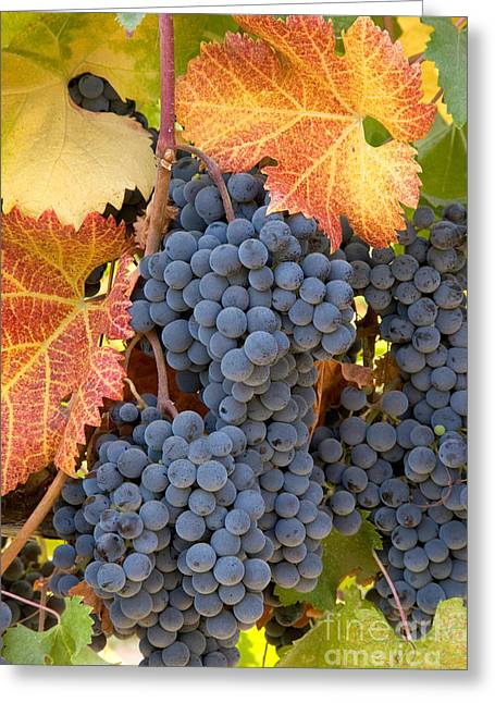 Grape Vines Greeting Cards - Grapes On Vine Greeting Card by Inga Spence