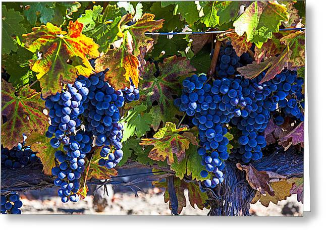 California Vineyard Greeting Cards - Grapes ready for harvest Greeting Card by Garry Gay
