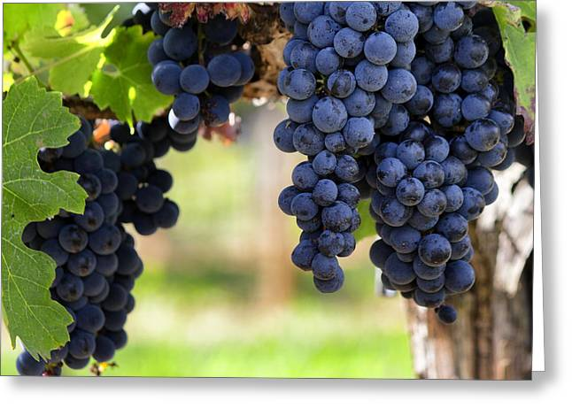 Ripe Grapes Greeting Cards - Grapes Ready to Harvest - Square Greeting Card by Nomad Art And  Design