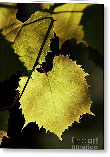 Grapevines Greeting Cards - Grapevine In The Back Lighting Greeting Card by Michal Boubin