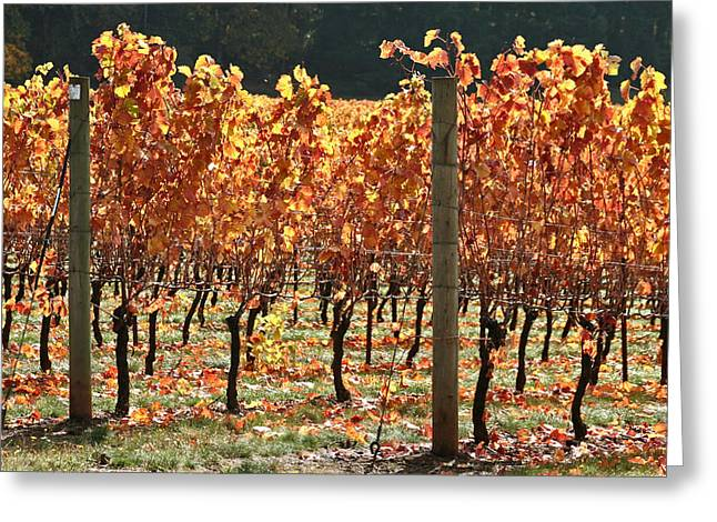 Grapevine Red Leaf Photographs Greeting Cards - Grapevines after the harvest Greeting Card by Margaret Hood