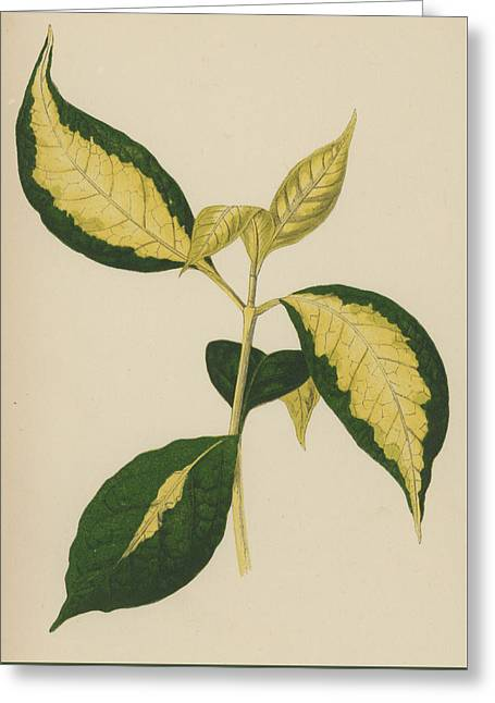 Graptophyllum Pictum Greeting Card by English School