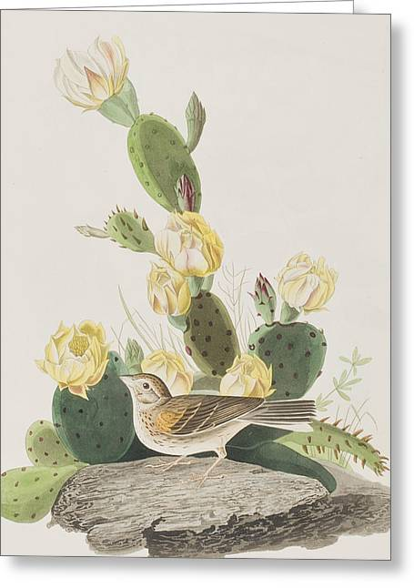 Grass Finch Or Bay Winged Bunting Greeting Card by John James Audubon