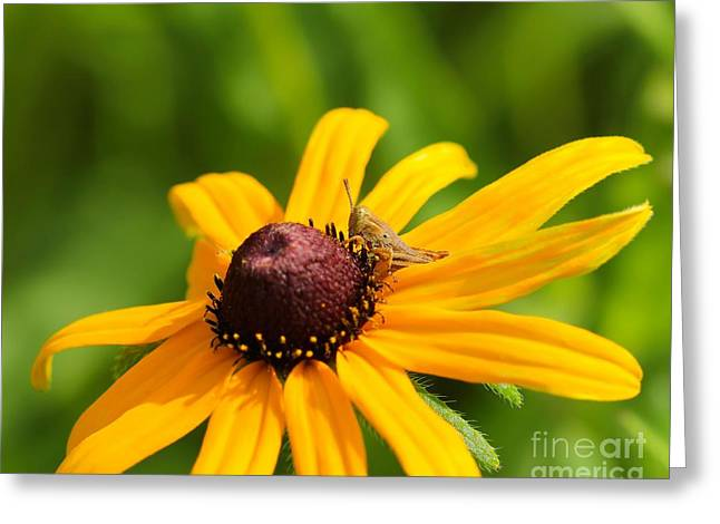 Bug Framed Prints Greeting Cards - Grasshopper and Black Eyed Susan Greeting Card by Jimmy Ostgard