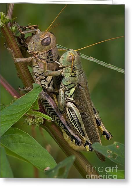 Grasshopper Sex Greeting Card by Warren Sarle