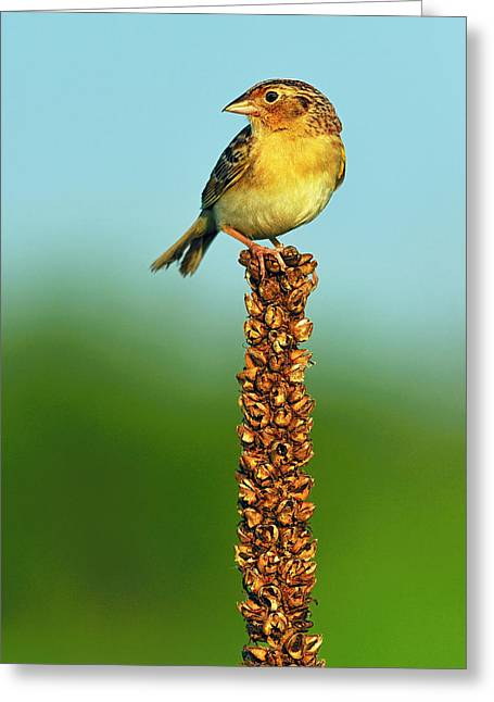 Mullen Greeting Cards - Grasshopper Sparrow Greeting Card by Tony Beck