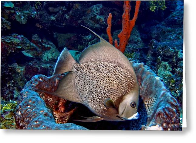Snorkel Greeting Cards - Gray Angel Fish and Sponge Greeting Card by Amy McDaniel